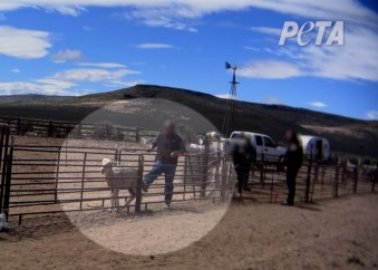PETA US Video: Sheep Kicked, Hit, and Shoved for 'Sustainable' Wool