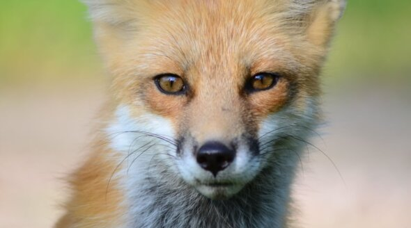Are You a National Trust Member? Vote for a Ban on Trail Hunting Now