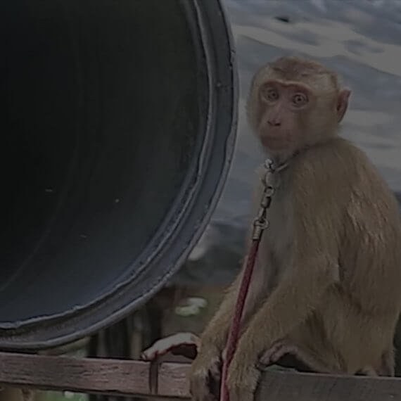 Speak Up for Monkeys Chained and Driven Insane for Coconut Products