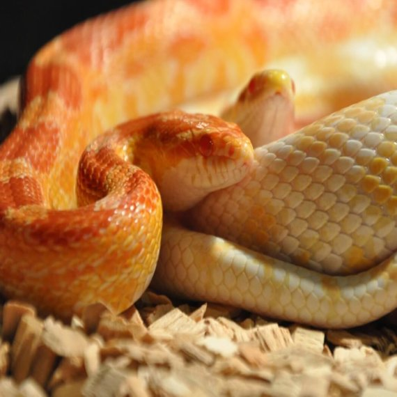 Urge Defra to Help Snakes Confined to Cramped Tanks