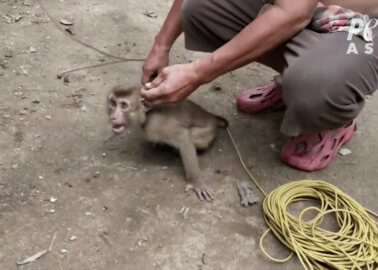 Coconut Industry Uses Terrified Monkeys as Coconut Picking Machines