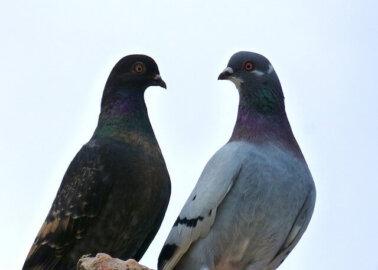 Michael Mansfield Urges Queen to Cut Ties With 'Nasty' Pigeon Racing