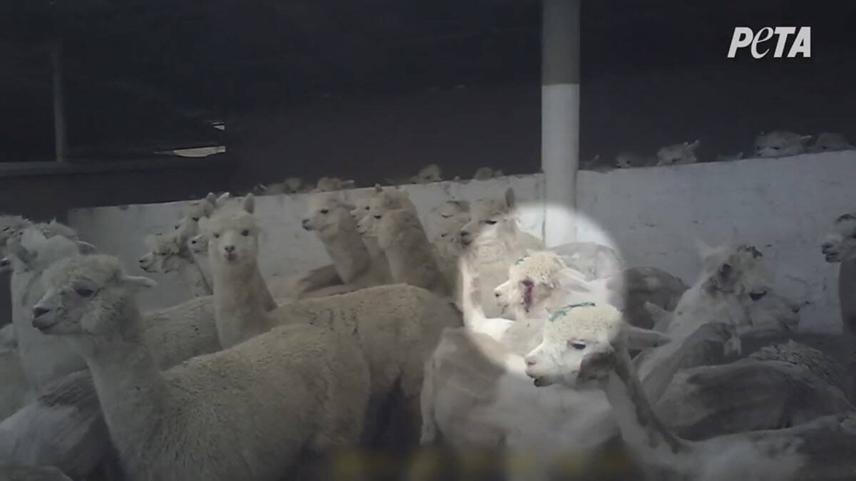 Image shows alpacas at world