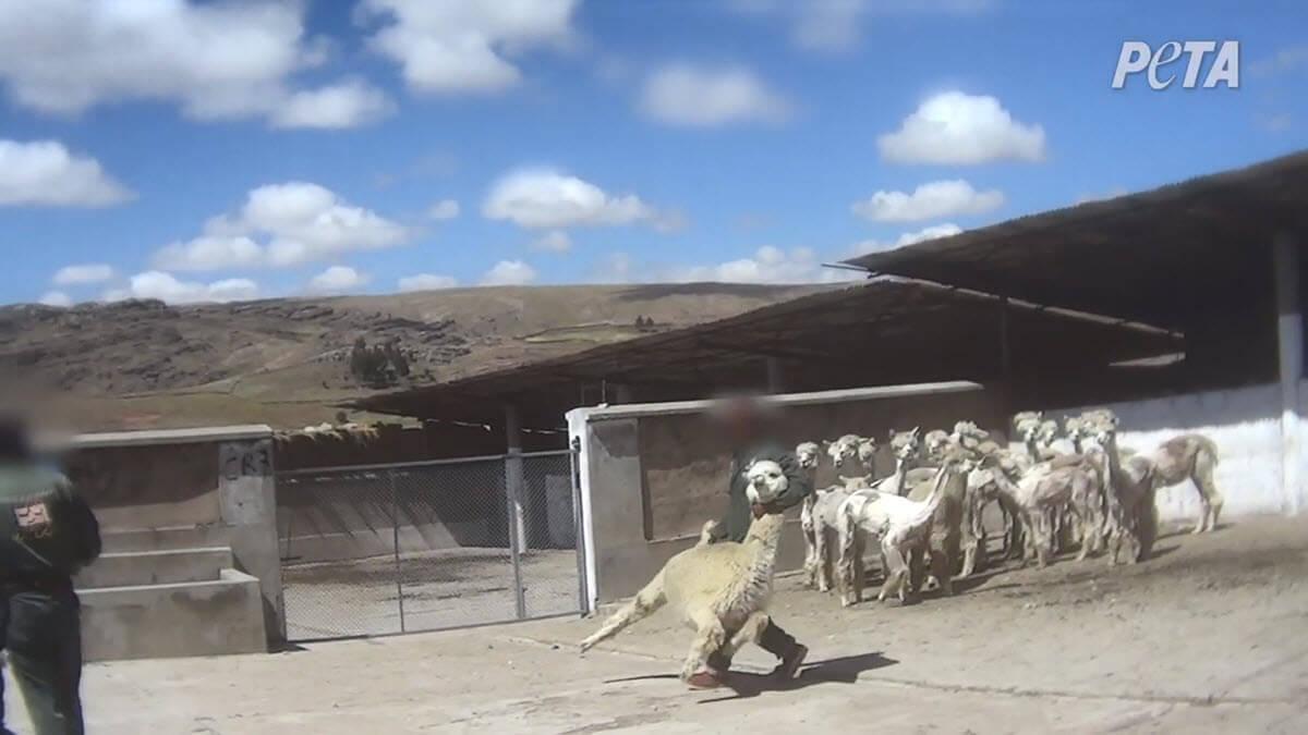 Image shows alpacas at world's top alpaca wool producer.