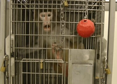 VIDEO: This US Lab Torments Imprisoned Monkeys, Drives Them Mad