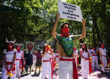 Activists Call For Permanent End to Bullfights and Bull Runs