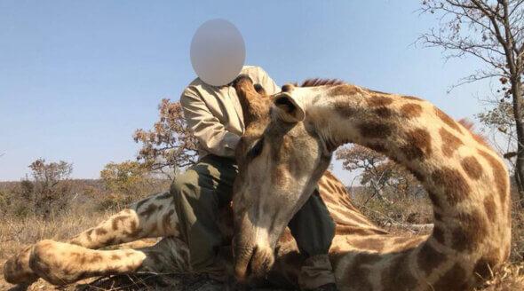 Image shows hunter posing with dead giraffe