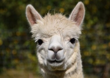 Fantastic News! UNIQLO Bans Alpaca Wool After PETA US Appeal