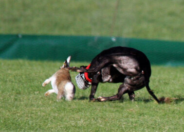 Hare Coursing Is Cruel – Let's Consign It to the History Books!