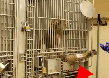 Video: Baboon Suffering and Death in US Organ-Transplant Laboratory
