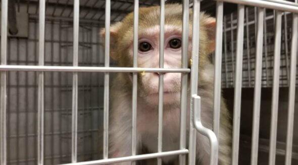 Image shows monkey at WNPRC