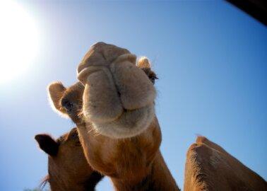 Fantastic News! Animal Rides to Be Banned at Giza Pyramids After PETA Campaign