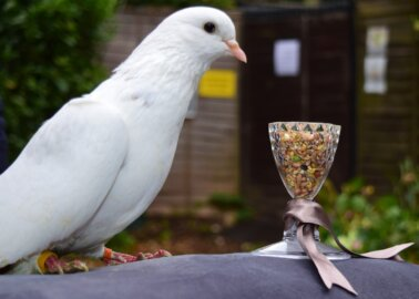 PETA's Anniversary Present to the Queen Is … a Rescued Pigeon!