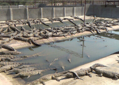 Are Hermès or Louis Vuitton Behind These Crocodile Factory Farm Plans?