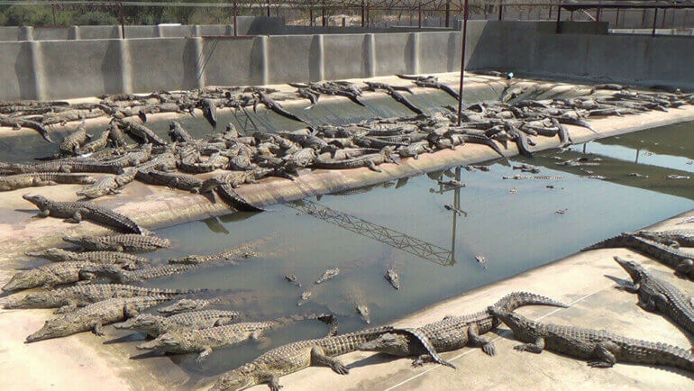 Image shows yearling crocodiles packed into pen