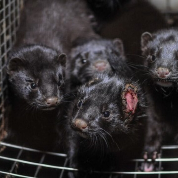 Tell the Danish Government to Ban Fur Farming