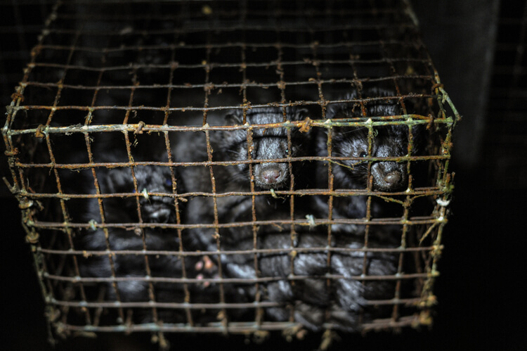 Mink kits in a cage at a fur farm in British Columbia.
