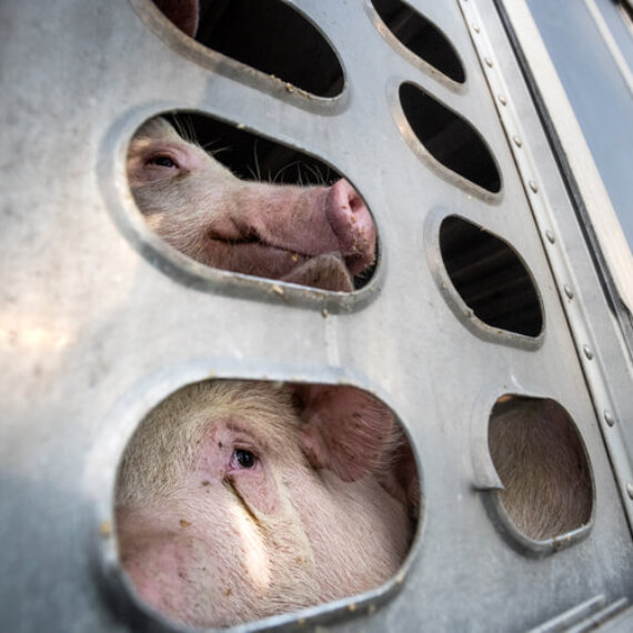 Tell the Scottish Government to Ban Live-Animal Export