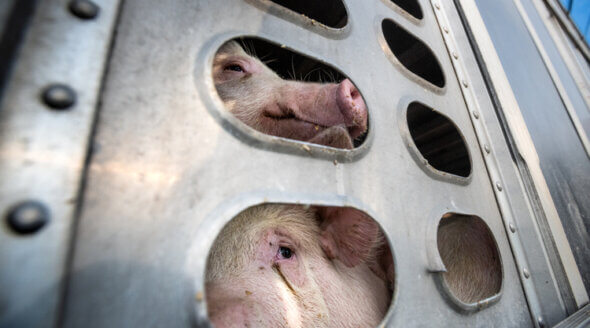 Pigs being transported for slaughter