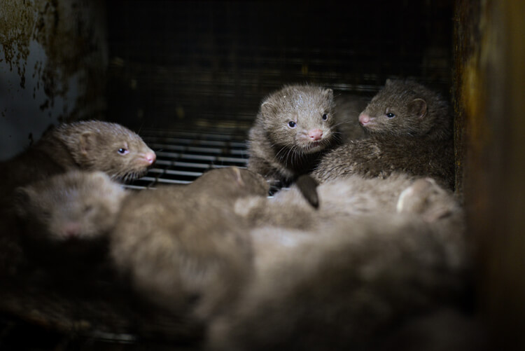 Mink kits in a cage at a fur farm in Quebec.