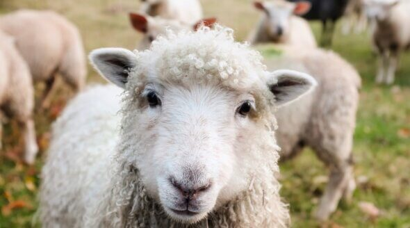 Close up of a happy sheep