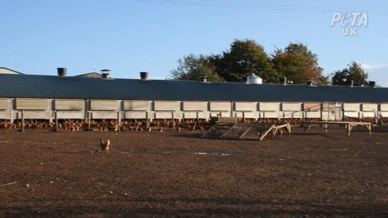 """Outside area on a """"free-range"""" egg farm"""