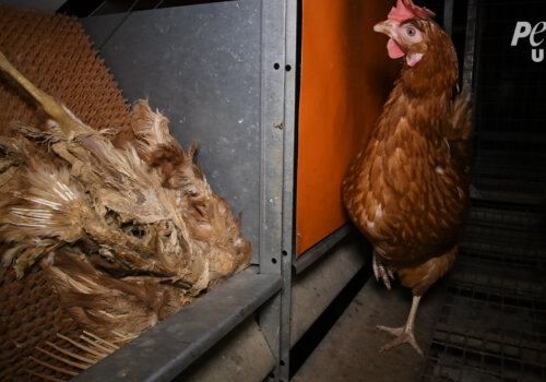 """Corpse of a dead chicken left to rot among the living on a """"free-range"""" egg farm."""
