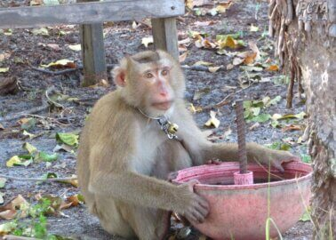 New Footage Exposes Monkey Labour Cover-Up in Thai Coconut Industry