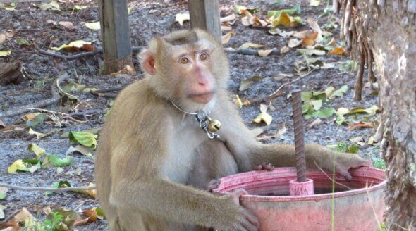 Monkey Chained Up in Thai Coconut Industry