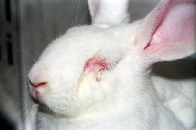 Rabbit in laboratory