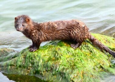 Italy Suspends Mink Breeding – But Why Is Fur Farming Still Not Banned?