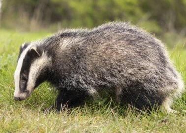 Great News! Wilkinson Sword Bans Badger-Hair Brushes
