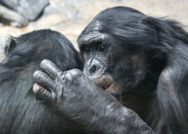 Great News: Boots Drops Captive Great Ape Greetings Cards