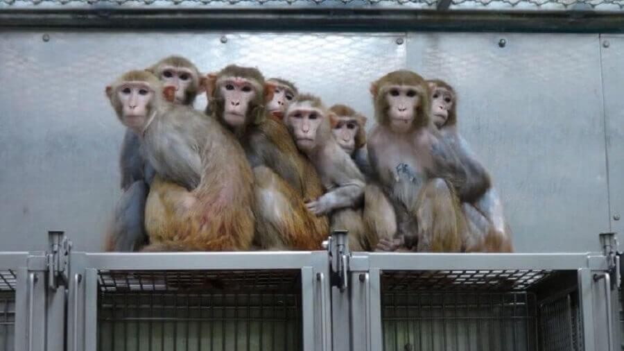 Monkeys in lab