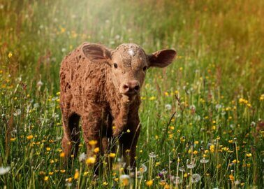 Great News: New Zealand to Ban Live-Animal Export!