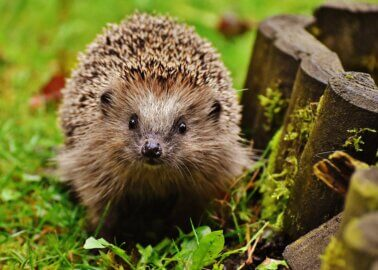 Top Tips on Helping Hedgehogs This Spring