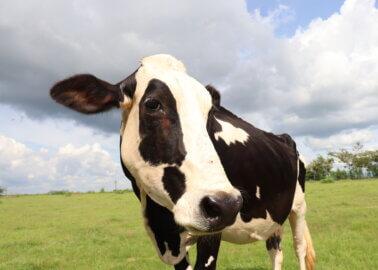 PETA India Names Rescued Cow After Kim Kardashian