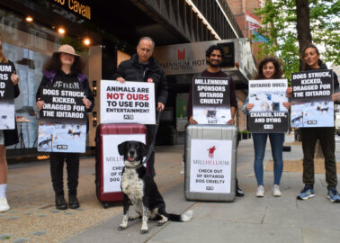 Millennium Hotels to Face PETA Protest Over Cruel Dog-Sled Racing Sponsorship