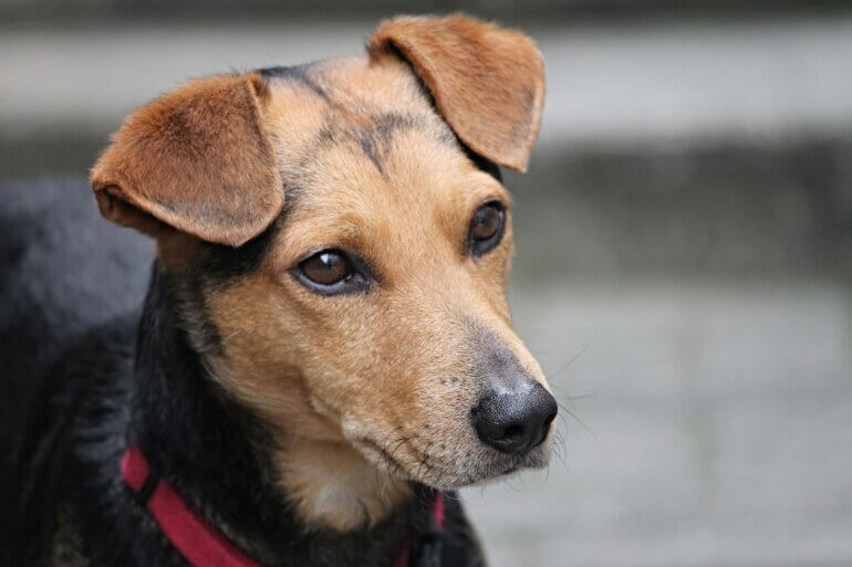 Dog with ears perked up