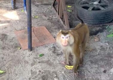 PETA Asia Rescues Chained Monkeys From Cruel Thai Coconut Industry