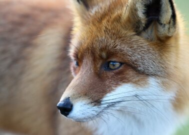 Animal Protection Groups Unite and Urge Boris Johnson to Ban Snares