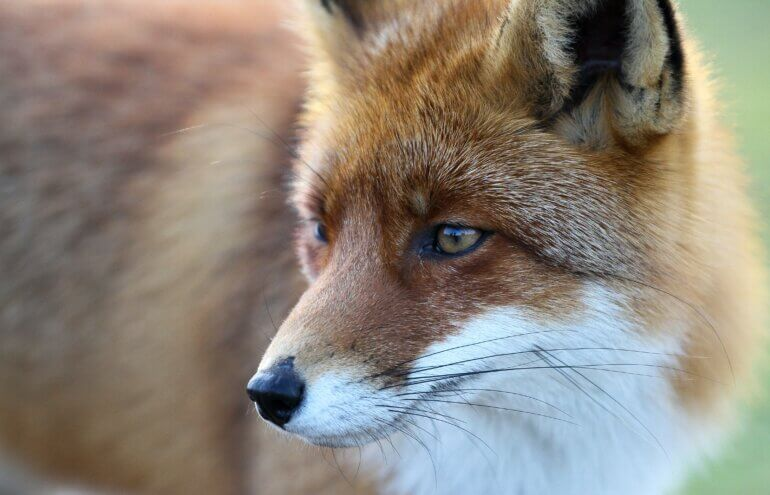 Close up of a fox.