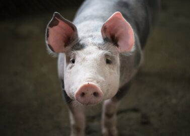 Victory! Doncaster Council Rejects Pig Farm