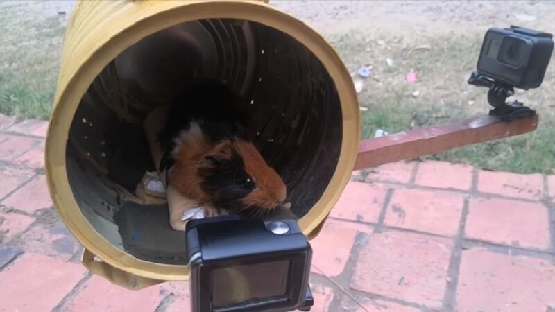 Image shows Galaxionaut the guinea pig undergoing the start of a centrifuge test.