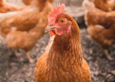 Our Appetite for Chicken Flesh Is Destroying the Planet