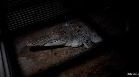 Shocking New Investigation Reveals the Horror Behind Hermès-Owned Crocodile Farms
